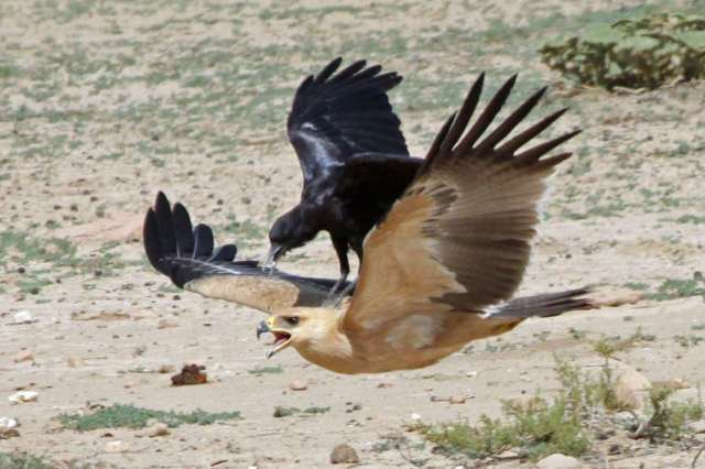 crow attacks eagle
